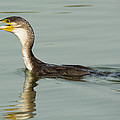 Greater Cormorant Eating A Fish by Dave Montreuil
