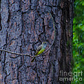 Greater Crested Flycatcher by Donna Brown