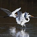Greater Egrets Meet Up  by Tom Janca