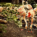 Greater Flamingo by Diane Dugas