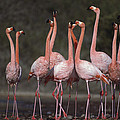Greater Flamingo Group Courtship Dance by Tui De Roy