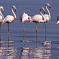 Greater Flamingo Group by Michael and Patricia Fogden