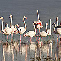 Greater Flamingos At Laguna De La Fuente De Piedra by Heiko Koehrer-Wagner