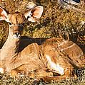 Greater Kudu Calf by Millard H. Sharp