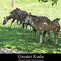 Greater Kudu by Chris Flees