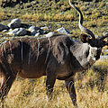Greater Kudu Grazing by Mariola Bitner