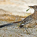 Greater Roadrunner With Nest Material by Anthony Mercieca