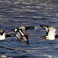 Greater Scaup Drakes Flight by John Dart