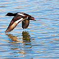 Greater Scaup In Flight by Roy Williams