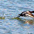 Greater Scaup Takes Flight by Roy Williams