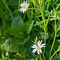 Greater Stitchwort Stellaria by Mark Llewellyn