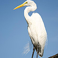 Greater White Egret by Chris Thaxter