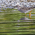 Greater Yellowlegs by Craig Brown