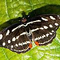 Grecian Shoemaker Butterfly by Millard H. Sharp