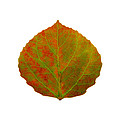 Green And Red Aspen Leaf 5 by Agustin Goba