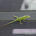 Green Anole by Diane Macdonald