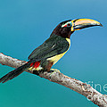 Green Aracari On Branch by Anthony Mercieca