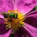 Green Bee Feeding On Rock Rose by Kathleen Bishop