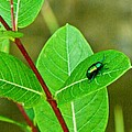 Green Beetle Foraging by Douglas Barnett