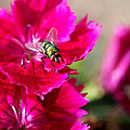 Green Bottle Fly On Dianthus  by Rona Black