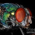 Green Bottle Fly by Paul Ward