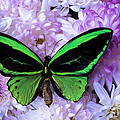 Green Butterfly And Mums by Garry Gay