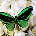Green Butterfly On White Roses by Garry Gay