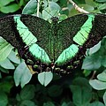 Green Butterfly by Savanna Paine