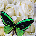 Green Butterfly With White Roses by Garry Gay