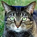 Green Cat Eyes In Summer Grass by Amy McDaniel