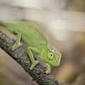 Green Chameleon by Heather Applegate