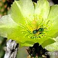 Green Cholla Beauty by Marilyn Smith