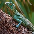 Green Crested Basilisk by Photos By  Cassandra