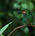 Green-crowned Brilliant by Cascade Colors