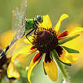Green Dragonfly by Karen Beasley