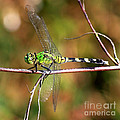 Green Dragonfly On Twig Square by Carol Groenen