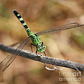 Green Dragonfly Square by Carol Groenen