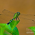 Green Dragonfly by Stephen Whalen