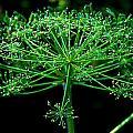 Green Frills II by Jeanette C Landstrom