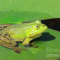 Green Frog by Amanda Mohler
