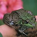 Green Frog by Carolyn Smith