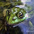 Green Frog Portrait by Daliana Pacuraru
