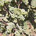 Green Grapes Growing On Grapevines by Jit Lim
