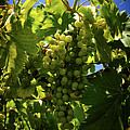 Green Grapes On The Vine by Tom Bell