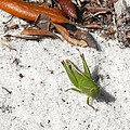 Green Grasshopper by Joe Wyman