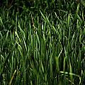 Green Green Grass ... by Zoran Berdjan