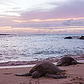 Green Hawaiian Sea Turtles At Sunset - Oahu Hawaii by Brian Harig