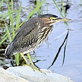 Green Heron 2 by Bonfire Photography