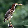 Green Heron 2 by Karen Adams