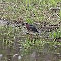 Green Heron Along Shore by Wayne Williams
